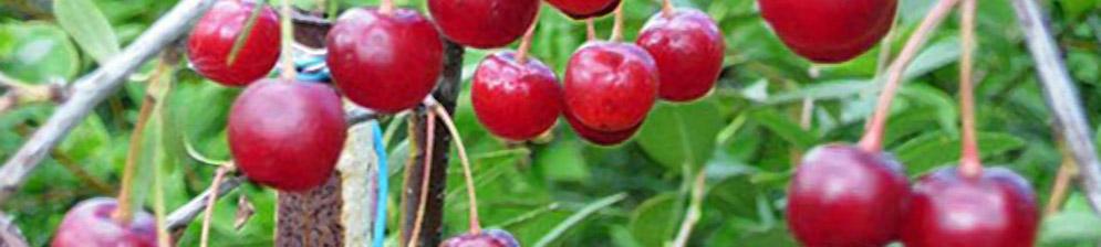 Плоды вишни Заря Татарии вблизи на ветке дерева