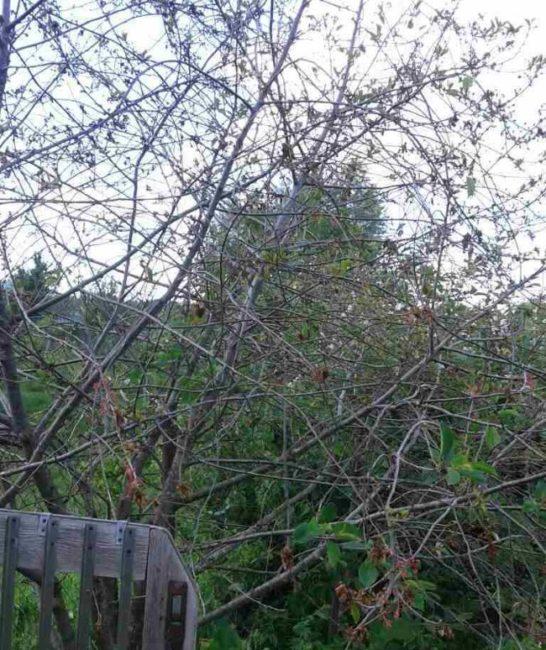 Взрослое деревце сортовой вишни сразу после засыхания цветков