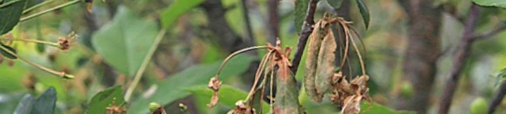 На вишне засохли цветоножки и листья на ветке