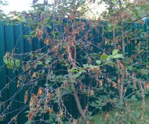 Признаки монилиоза на кусту вишни в виде засыхающих веток