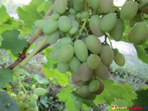 Кисть винограда 2019 года