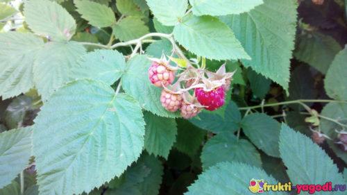 Созревающие и ещё зелёные плоды малины урожая 2019 года