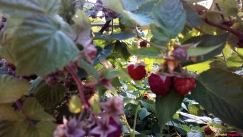Созревающие плоды малины урожая 2019 года