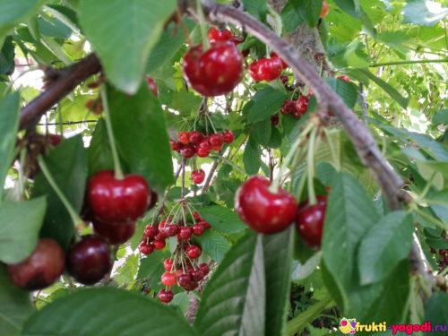Урожай красной черешни висит на дереве 2019 года
