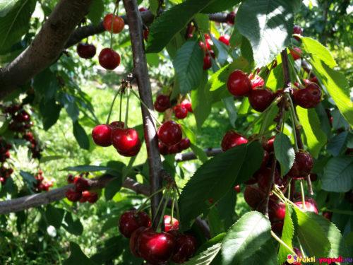 Красная черешня на дереве с нашего огорода
