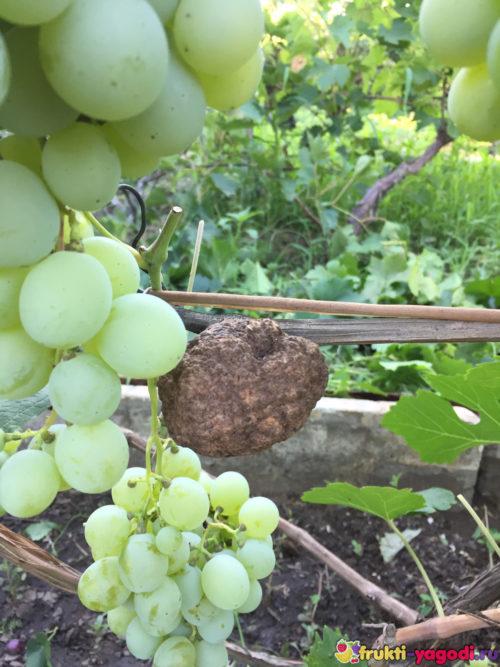 Плоды винограда на лозе