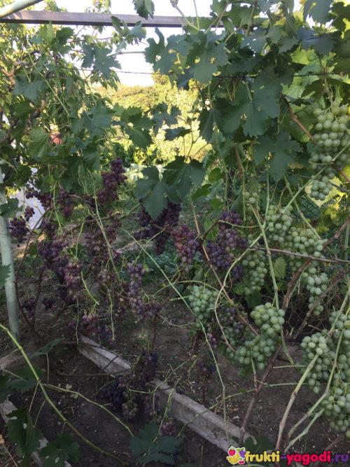 Тёмный виноград созревает на дачном участке