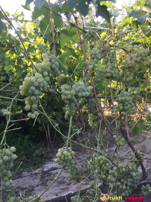 Созревает тёмный виноград на обрезанном кусте