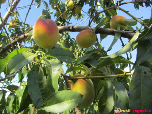 Созревающие плоды персика на дереве