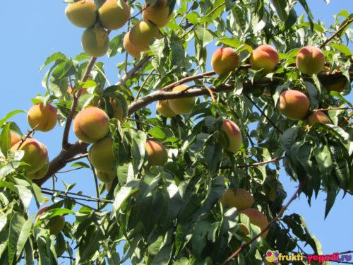 Урожай 2019 года на дереве персика плоды