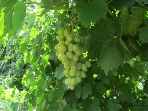 Дамские пальчики виноград сорта