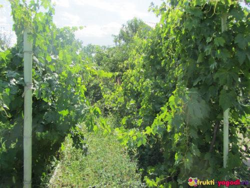 Два куста винограда фото с середины