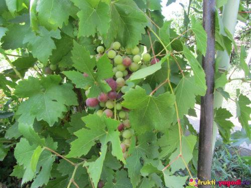 Созревающий виноград на ветке урожая 2019 года