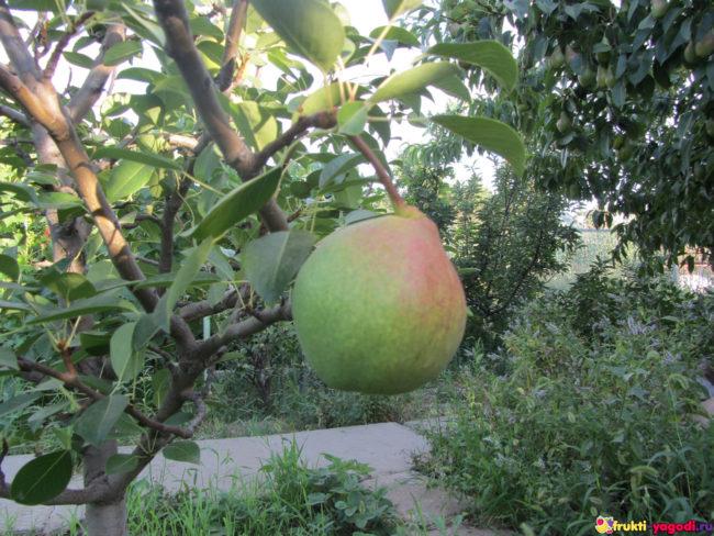 Плод груши созревает на дереве