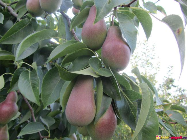 Плоды груши сорта Талгарская красавица на дереве