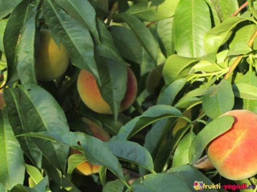 Созревающие плоды персика на дереве вблизи