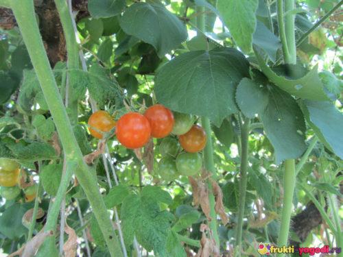Небольшая завязь помидор на кусте