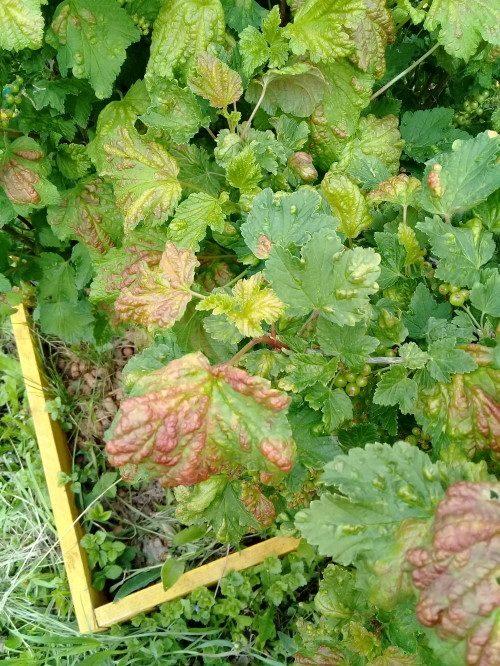 Симптомы заражения черной смородины антракнозом в виде пятен на скрученных листьях