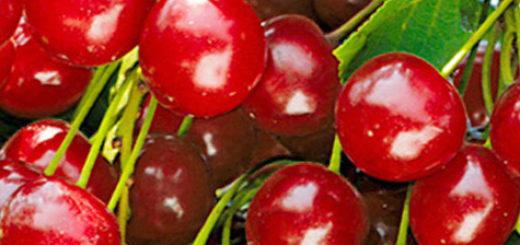 Созревающие плоды сорта вишни Булатниковская
