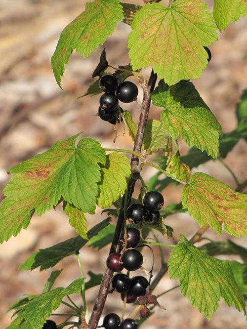 Коричневые пятна на зеленых листьях смородины при заражении культуры антракнозом