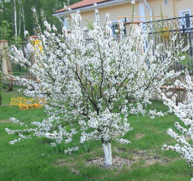 Обильное цветение вишневого кустика в середине весны