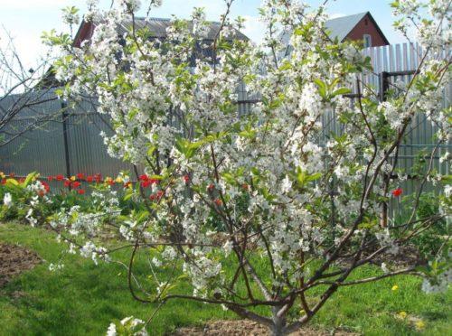 Белые уветки на кустовой вишне гибридного сорта Огневушка