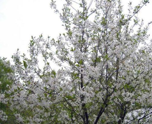 Ветки вишни с белыми цветками на дереве сорта Заранка