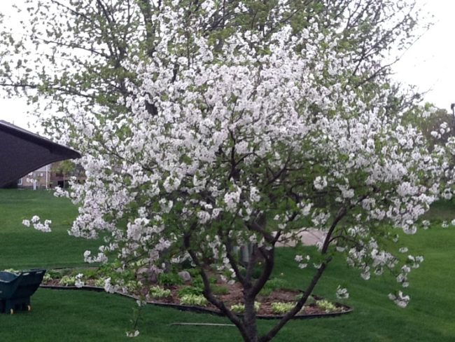 Цветение куста вишни на участке в Центрально-черноземном регионе России
