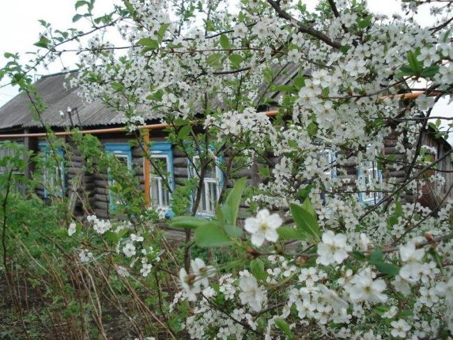 Крупные белые цветки вишни на дачном участке с деревянным домом