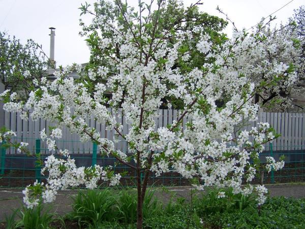 Цветение вишни с аккуратной и компактной кроной кустового типа