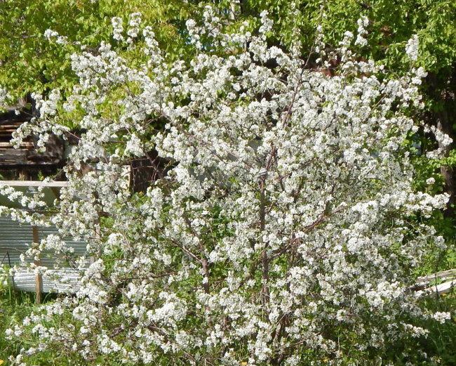Цветение вишни сорта Пламенная в конце мая на дачном участке