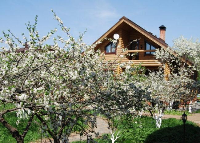 Вишневый сад на загородном участке с домом из бревенчатого сруба