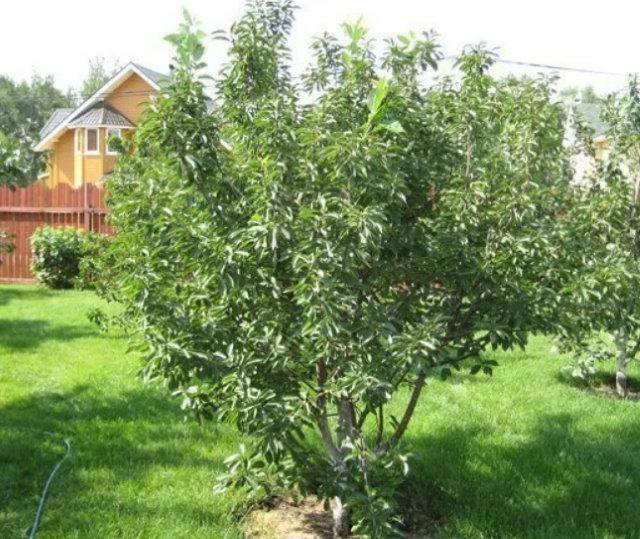 Зеленая листва на дереве вишни гибридного сорта в начале лета
