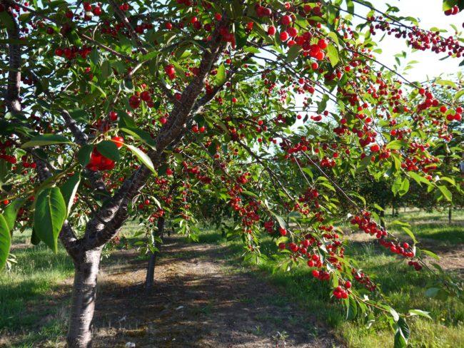 Плодоношение вишни отечественного сорта Бусинка в конце июля
