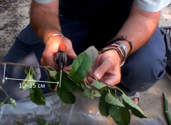 Длина нарезки побегов вишни при летнем черенковании своими руками
