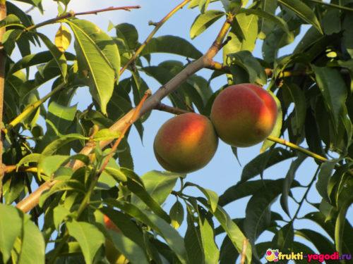 Два персика на дереве