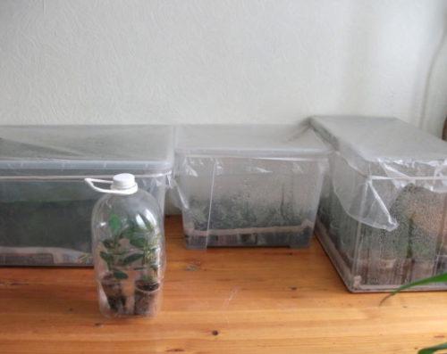 Черенкование вишни в пластиковых контейнерах в городской квартире