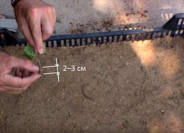 Глубина посадки зеленого черенка вишни в пластиковый ящик с грунтом
