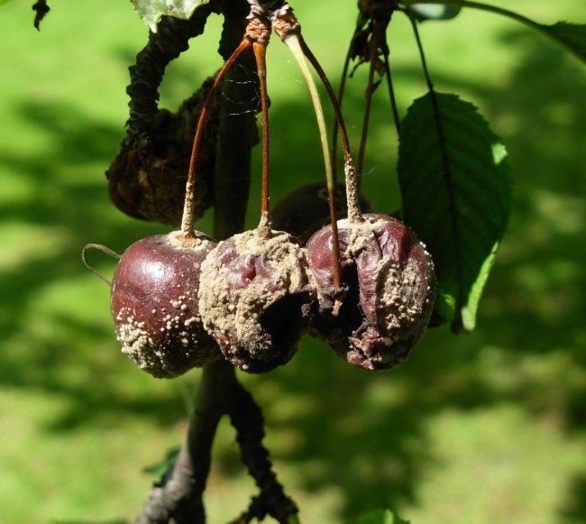 Загнивание плодов вишни на сыром участке с закисленной почвой