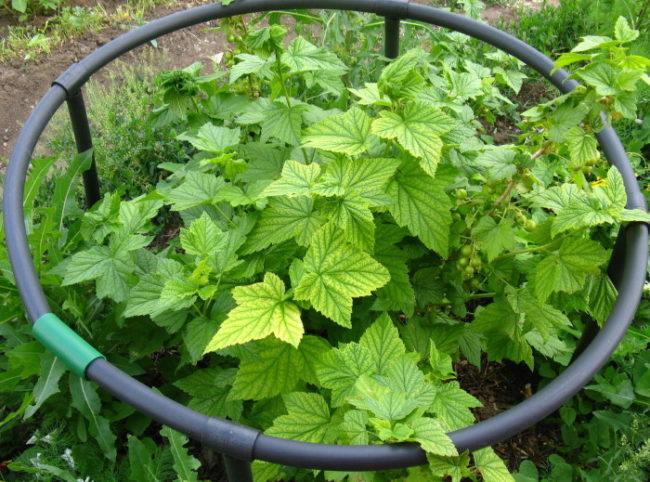 Признаки хлороза на молодых кустиках смородины в виде пожелтения листьев