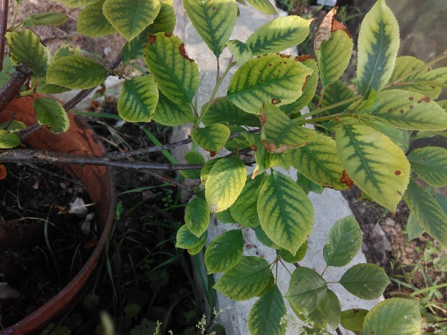 Признаки хлороза вишни при выращивании на слабощелочной почве