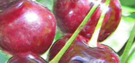 Плоды вишни сорта Хуторянка в стадии спелости
