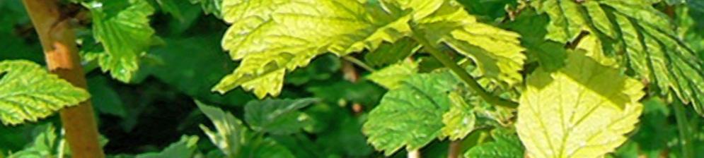 Листья у смородины начали желтеть с краёв