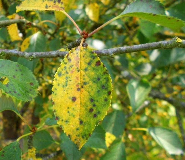 Вишневый лист с признаками заражения растения коккомикозом в виде желтых и коричневых пятен