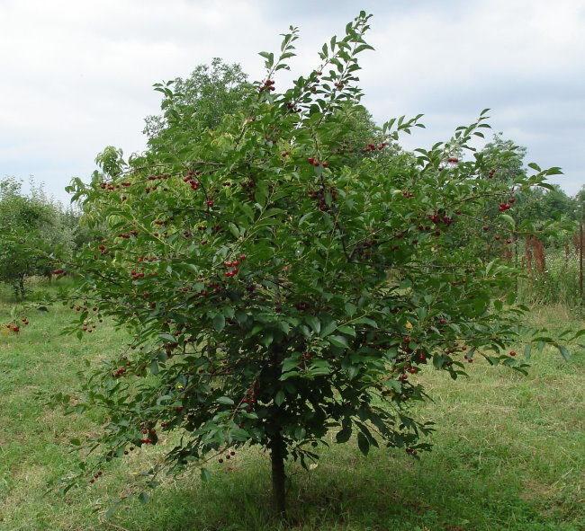 Компактный кустик вишни сорта Морель Брянская в начале плодоношения