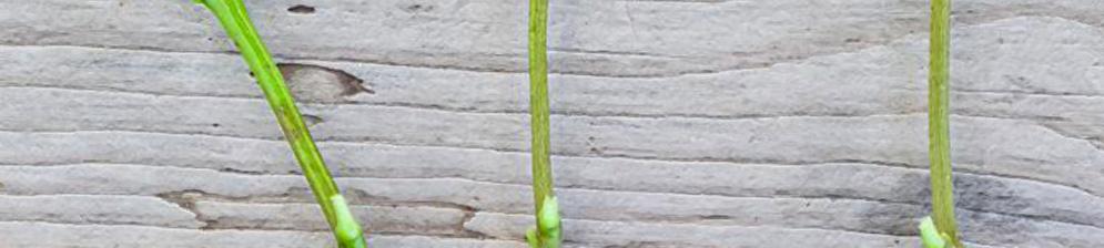 Коренная система зелёных черенков вишни три черенка