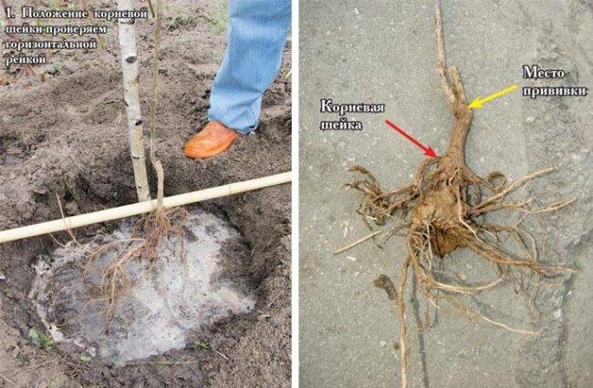 Правила посадки и размещения корневой шейки на саженце вишни в Средней полосе России