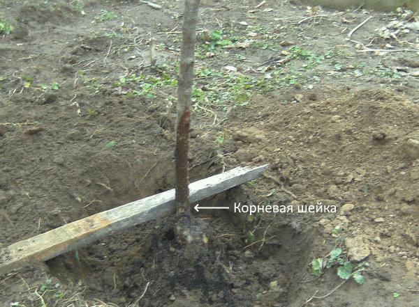 Расположение корневой шейки на саженце вишни при весенней посадке