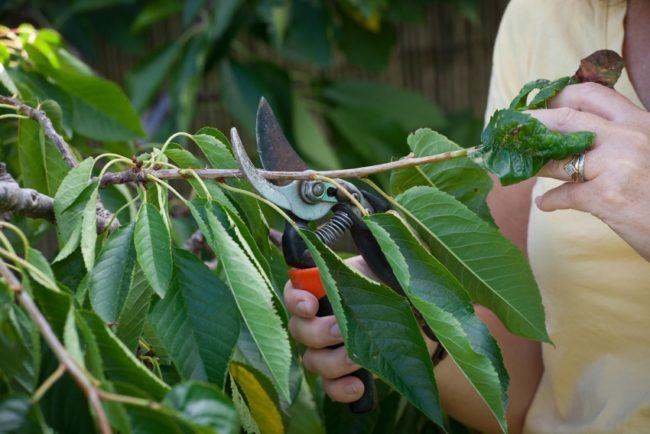 Летняя обрезка вишни в начале июля для улучшения плодоношения