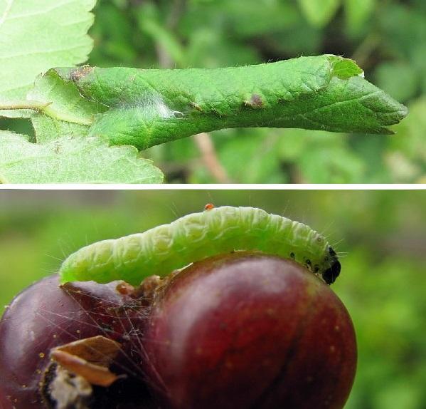 Свернутый лист и гусеница листовертке на ягодах смородины